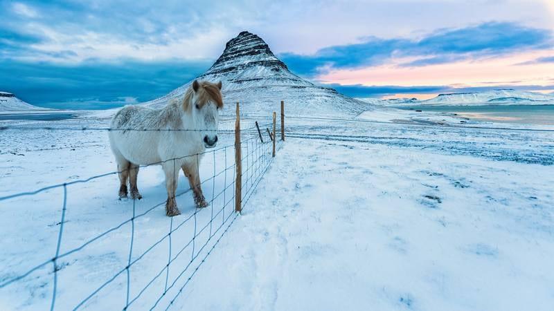Исландский пони