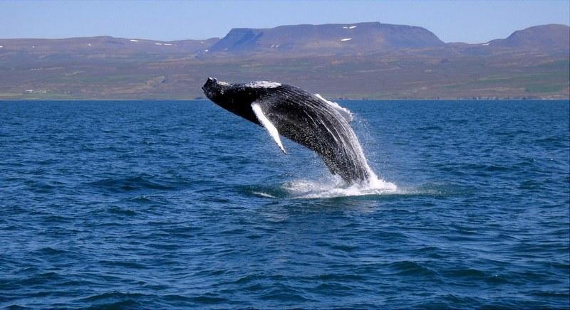 Сафари с китами на севере Исландии