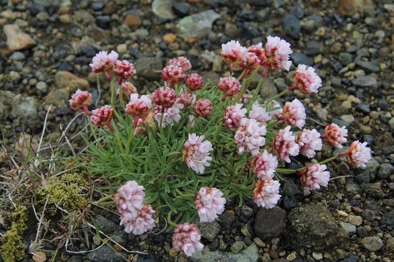 Исландские цветы летом